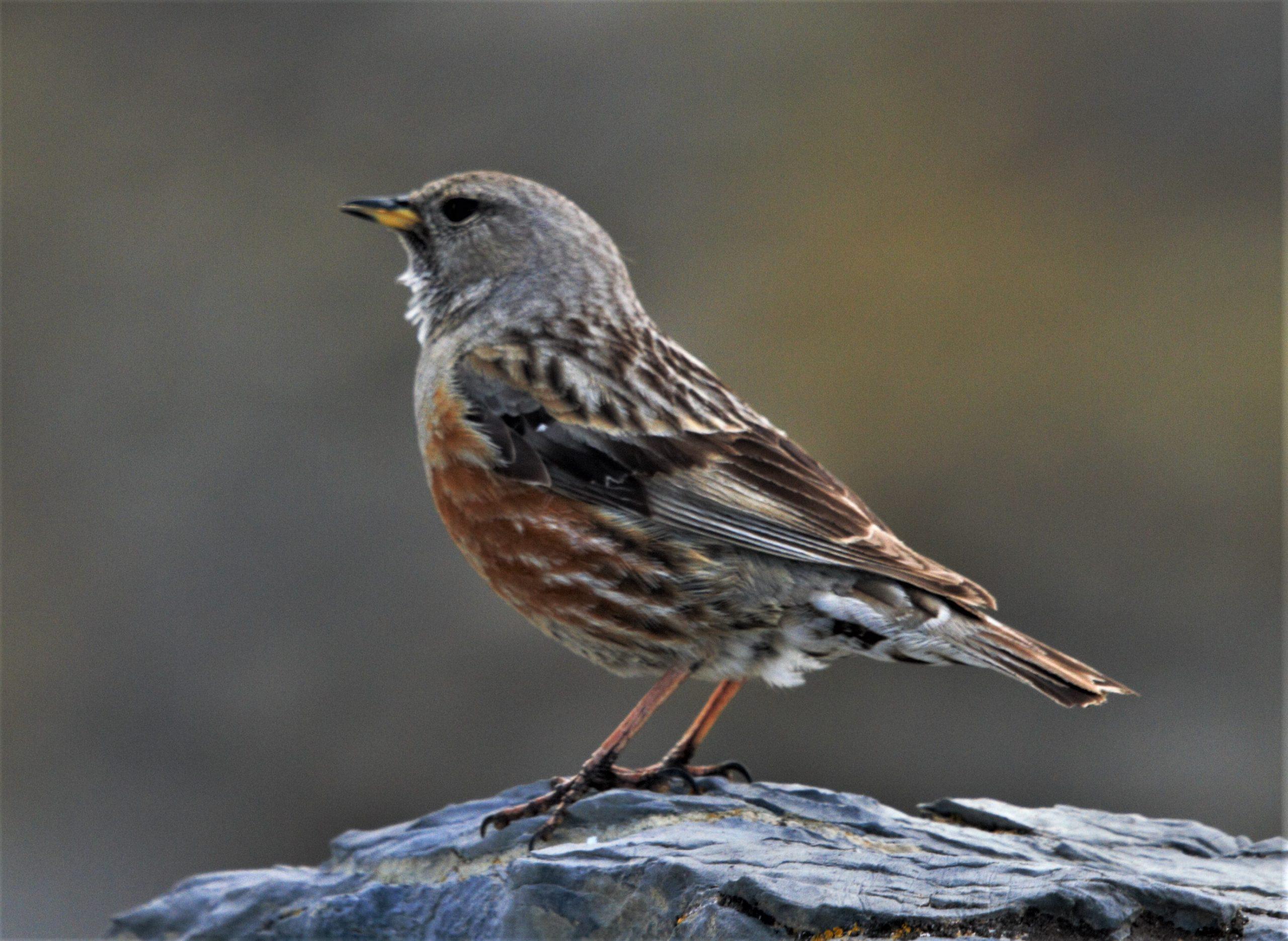 acentor-alpino-aves-alpinas-birdwatching-pirineos